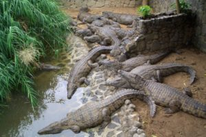 Dubai Crocodile Park-a new home to giant aquatic reptiles-YesGulf